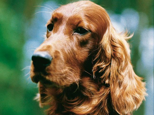 Photo chien cocker anglais 1154 wamiz - Dessin de cocker ...