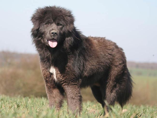 Relativ Dogue du Tibet : chien et chiot Tibetan Mastiff, Do-Khyi, Kyi Apso  WB55