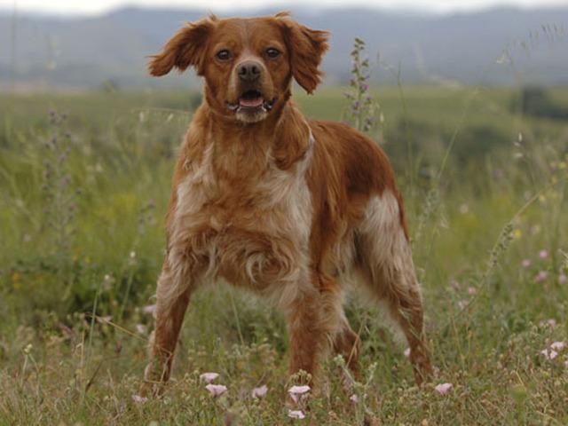 photo chien Épagneul breton - 1215 - wamiz