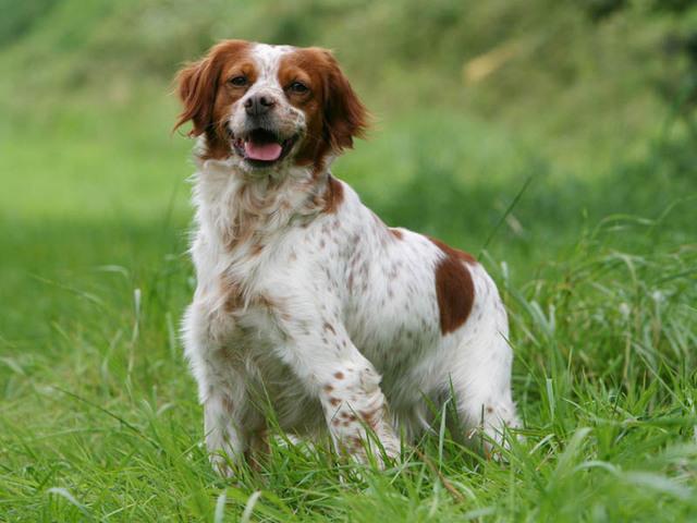 photo chien Épagneul breton - 1216 - wamiz