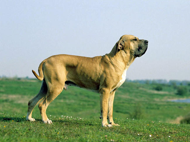 Brazilian Dog Breeds