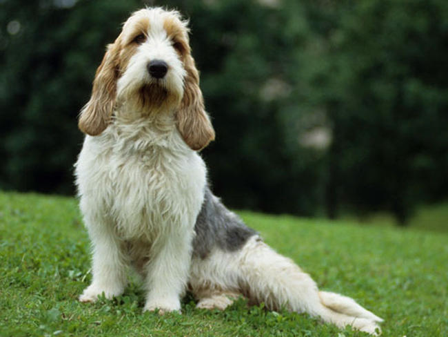 Grand basset griffon vend en chien et chiot wamiz - Petit basset hound angers ...