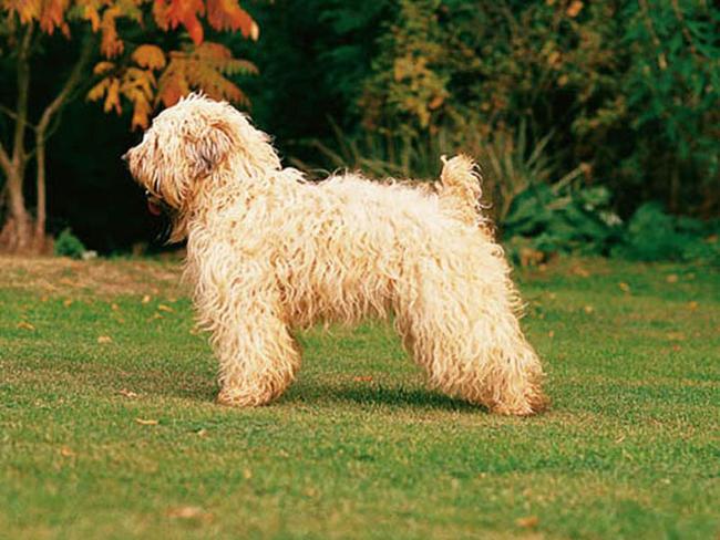 Irish Terrier à poil doux