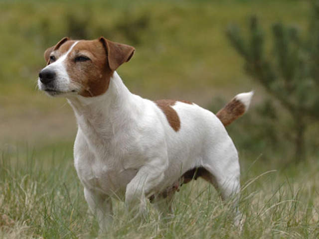 photo chien jack russell terrier 1346 wamiz. Black Bedroom Furniture Sets. Home Design Ideas