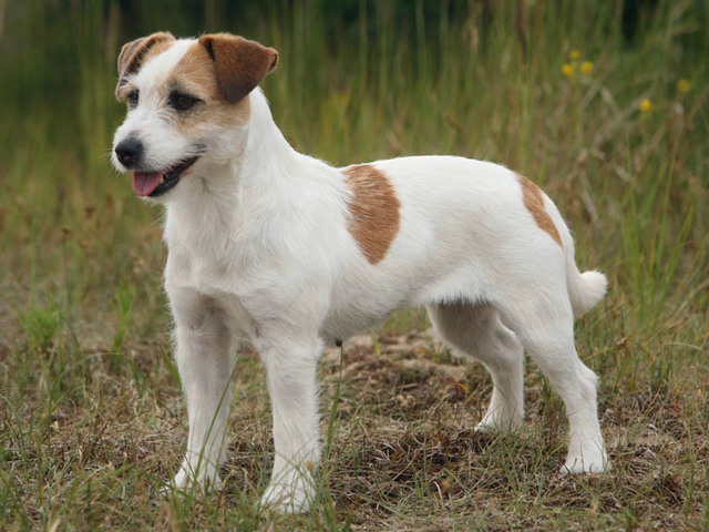 photo chien jack russell terrier 1350 wamiz. Black Bedroom Furniture Sets. Home Design Ideas