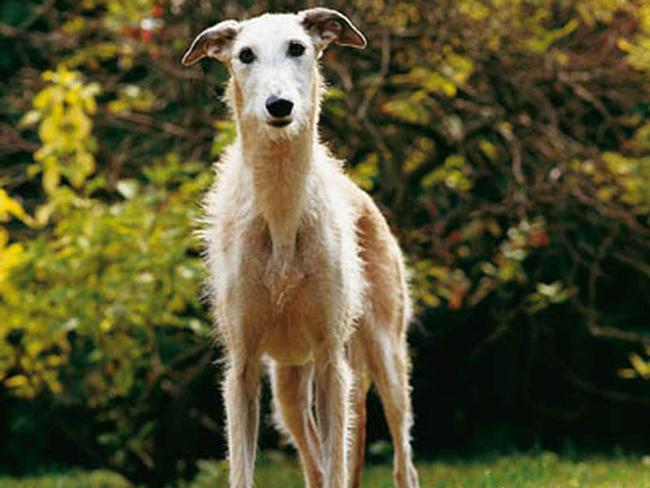 Lévrier espagnol : chien et chiot. Spanish Greyhound ...