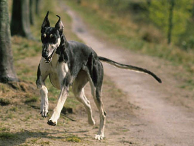 ... polonais : chien et chiot. Polish Greyhound, Chart Polski - Wamiz