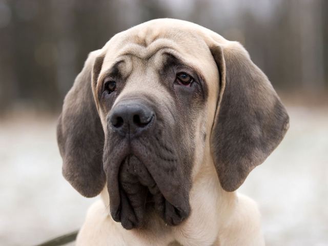 Mastiff chien et chiot dogue anglais english mastiff for Caracteristique anglais