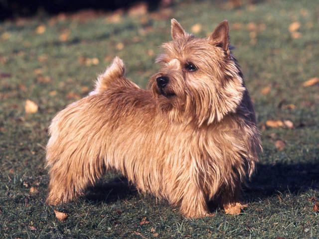 Photo chien Norfolk Terrier et Norwich Terrier - 1459 - Wamiz