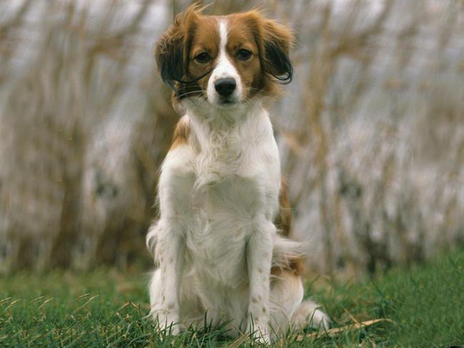 Petit chien hollandais de chasse au gibier d'eau