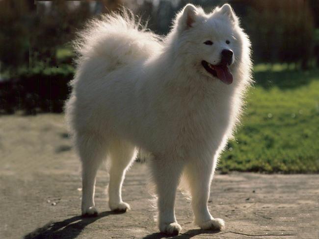 Samoyède : chien et chiot Samoyed Dog, Samoiedskaïa Sabaka ...