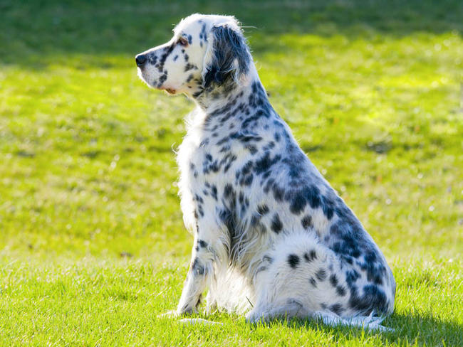 setter anglais chien et chiot english setter setter laverack wamiz. Black Bedroom Furniture Sets. Home Design Ideas