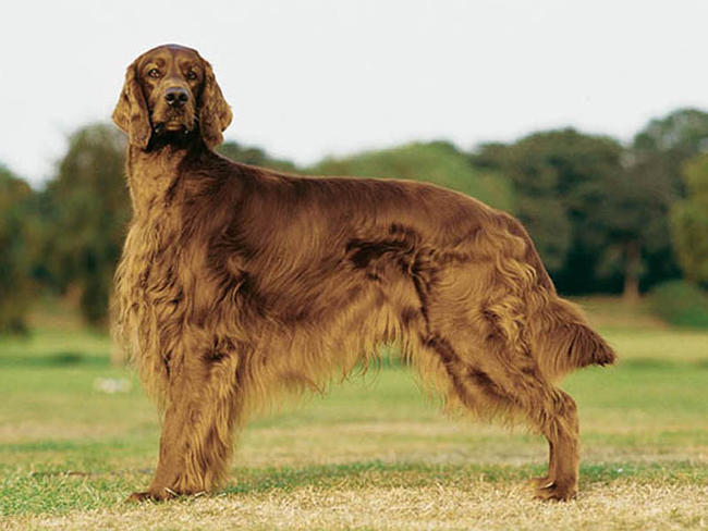 land rover setter dog breeds dog breeds picture 10 irish dog breeds in ...