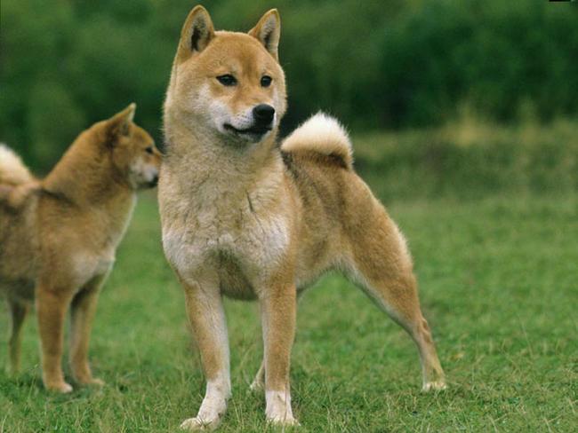 Shiba Inu : chien et chiot. Petit chien japonais - Wamiz