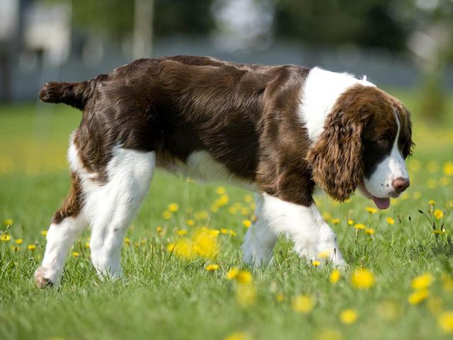 Photo chien Springer anglais - 1652 - Wamiz