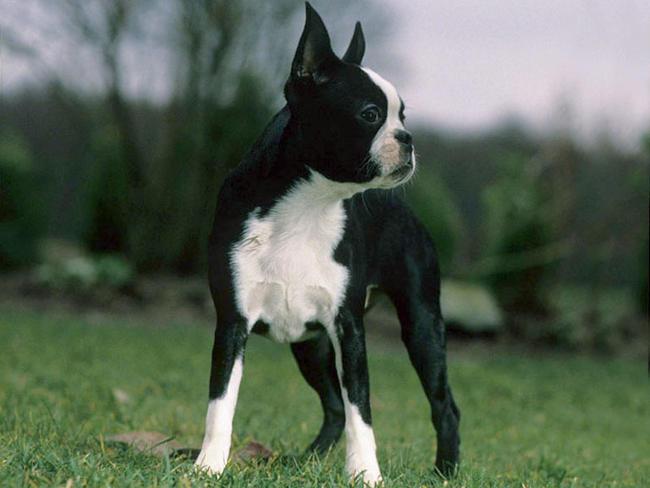 Terrier De Boston Caractere Prix Alimentation Sante Fiche Race Chien