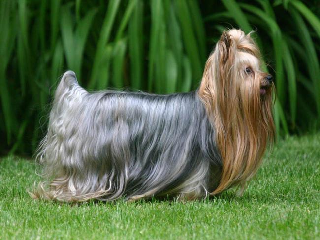 Yorkshire Terrier Chien Et Chiot Terrier Du Yorkshire Yorkie