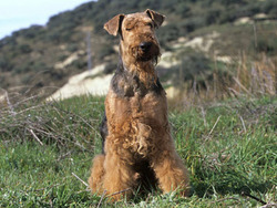 Photo de Airedale Terrier