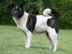 Photo de Grand chien japonais