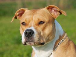 Photo de American Staffordshire Terrier