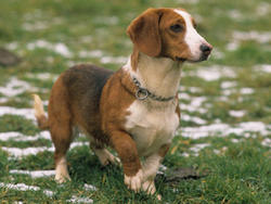 Photo de Basset de Westphalie