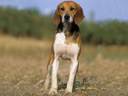 Chien de race Beagle-Harrier