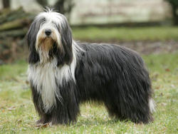 Chien de race Bearded Collie