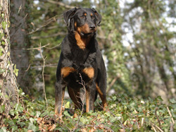 Photo de Beauceron