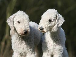 Chien de race Bedlington Terrier