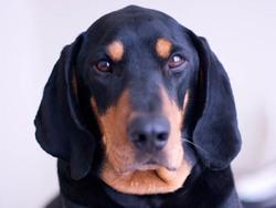 Photo de Black and tan Coonhound