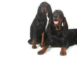 Chien de race Black and tan Coonhound
