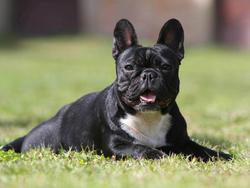 photo chien bouledogue fran ais 849 wamiz. Black Bedroom Furniture Sets. Home Design Ideas