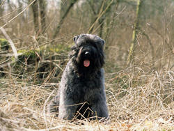 Photo de Bouvier des Flandres