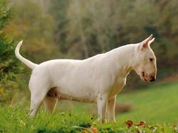 Chien de race Bull Terrier