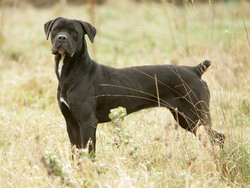 Photo de Cane Corso