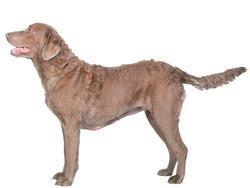 Chien de race Chesapeake Bay Retriever