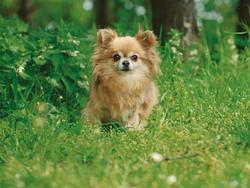 Photo de Chihuahua