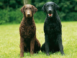 Chien de race Curly-Coated Retriever