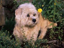 Chien de race Dandie Dinmont Terrier