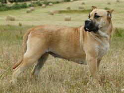 Chien de race Dogo canario