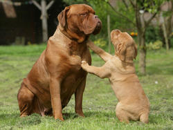 Chien de race Dogue de Bordeaux