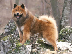 Elevage Eurasier