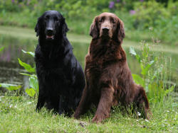 Chien de race Flat-Coated Retriever