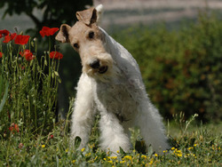 Photo de Fox-Terrier