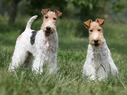 Photo de Fox-Terrier