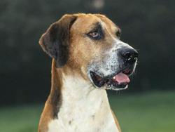 Chien de race Foxhound anglais