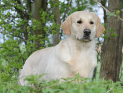 Chien de race Golden Retriever