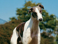 Chien de race Greyhound