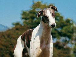 Chien de race Greyhound