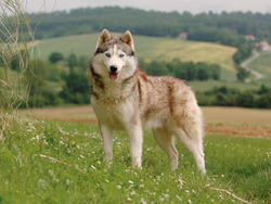 Perro de raza husky siberiano